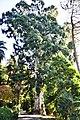 ევკალიპტი ტირიფფოთოლა Eucalyptus viminalis Blaugummibaum (2).jpg