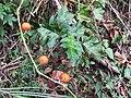 刺茄 Solanum capsicoides Allioni - panoramio.jpg