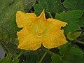 南瓜 Cucurbita moschata -北京花卉大觀園 The World Flower Garden, Beijing- (9213309383).jpg