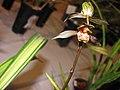 報歲瑞鷹 Cymbidium sinense 'Auspicious Eagle' -香港沙田國蘭展 Shatin Orchid Show, Hong Kong- (12248135804).jpg