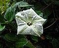 小心葉薯(野牽牛) Ipomoea obscura -墾丁恒春熱帶植物園 Hengchun Tropical Botanical Garden, Taiwan- (40256656834).jpg