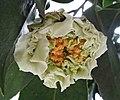 山茶花-重瓣牡丹型 Camellia japonica Double Peony Form -深圳園博園茶花展 Shenzhen Camellia Show, China- (40606986001).jpg