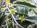 沙棗 Elaeagnus angustifolia -維也納大學植物園 Vienna University Botanical Garden- (28028907414).jpg