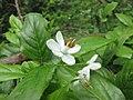 狹果秤錘樹(江西秤錘樹) Sinojackia rehderiana -比利時 Ghent University Botanical Garden, Belgium- (9229895322).jpg