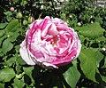 玫瑰 Rosa Gros Provins Panache -巴黎植物園 Jardin des Plantes, Paris- (9166018482).jpg