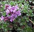 百里香屬 Thymus praecox -哥本哈根大學植物園 Copenhagen University Botanical Garden- (36901524891).jpg