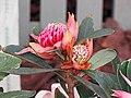 紅火球帝王花 Telopea speciosissima hybrid -香港花展 Hong Kong Flower Show- (9204849643).jpg