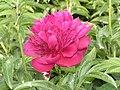 芍藥-銀線紅 Paeonia lactiflora 'Siver Thread Red' -瀋陽植物園 Shenyang Botanical Garden, China- (12403892053).jpg