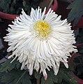 菊花-翻銀彩雲 Chrysanthemum morifolium -中山小欖菊花會 Xiaolan Chrysanthemum Show, China- (12064916233).jpg