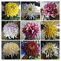 菊花 Chrysanthemum morifolium Cultivars 1 -上海松江方塔園 Song Jiang, Shanghai- (11961616814).jpg