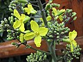 葉牡丹(羽衣甘藍) Brassica oleracea v acephala -香港花展 Hong Kong Flower Show- (9216114784).jpg