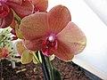 蝴蝶蘭 Phalaenopsis Surf Song -荷蘭園藝展 Venlo Floriade, Holland- (9207603432).jpg