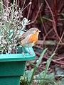 -2019-01-04 Robin (Erithacus rubecula), Trimingham, Norfolk (1).JPG