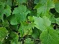 -2Feuilles de vigne.jpg