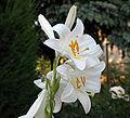 01-Lilium candidum madonna lily.jpg