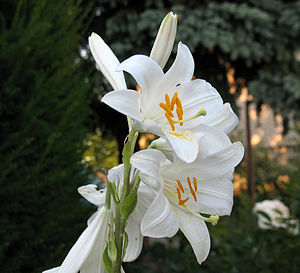 English: Madonna Lily (Lilium candidum) is a p...