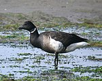 014 -BRANT (12-14-06) morro bay, slo co, ca-1 (8707178369).jpg