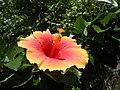 01735jfUnidentified Hibiscus cultivars Philippinesfvf 13.JPG