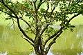 032 Waterside Tree, Kolam Telagorajo (27349860049).jpg