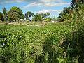 04506jfDomesticated Water Hyacinth Pescadores Poblacion Candaba Pampangafvf 01.JPG