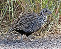 072 - MONTEZUMA QUAIL (11-13-2015) harshaw road, santa cruz co, az -09 imm male (22993589915).jpg