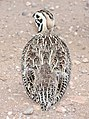 072 - MONTEZUMA QUAIL (8-22-2015) harshaw rd, santa cruz co, az -06 (20789116962).jpg