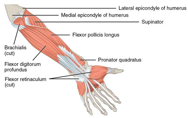 Image result for pronator quadratus
