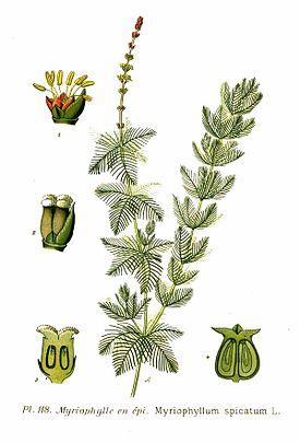 118 Myriophyllum spicatum L.jpg