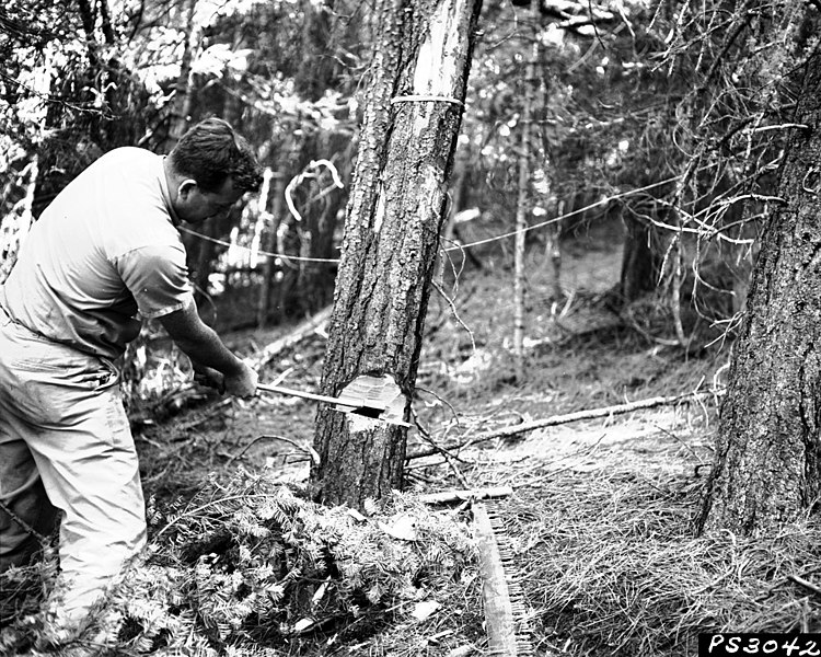 File:1960. William Klein checking control effectiveness in ponderosa pine tree sprayed with ethylene dibromide to control mountain pine beetle (Dendroctonus monticolae). Bauer's Creek area. Fremont National Forest, Oregon. (38707561201).jpg
