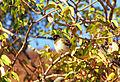 1999-08-03 006 (Pycnonotus nigricans).jpg