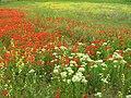 1 (271)تصویری از زیبا از گل های لالهدر این روستای زیبا در مزارع قوزای.JPG