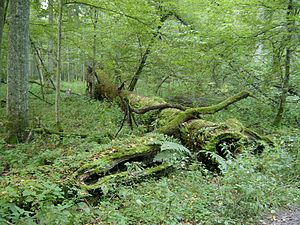 Coarse woody debris - Coarse woody debris in Białowieża Forest, Poland