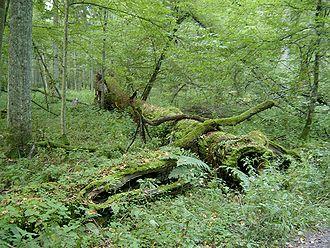 Coarse woody debris - Coarse woody debris in Białowieża Forest, Poland