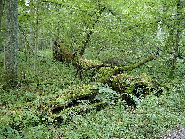 El Bosque de Białowieża en Polonia, el último bosque virgen de Europa Im284-640px-2005-09_Bia%C5%82owieski_Park_Narodowy_2