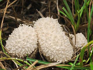 Popolnička stlačená (Lycoperdon pratense)