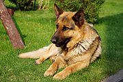 german sheperd   Homesteading Hounds: A Farmers Best Friend