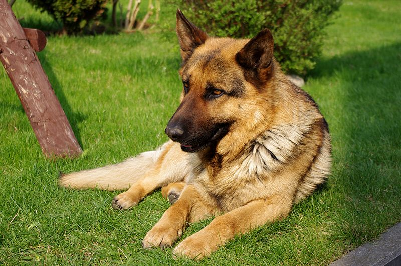 ملف:20110425 German Shepherd Dog 8473.jpg
