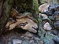 2012-03-03 Heterobasidion abietinum Niemelä & Korhonen 202467.jpg
