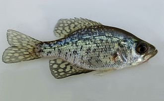 Black crappie - Black crappie, San Joaquin Valley, California
