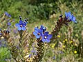 20120626Anchusa officinalis6.jpg