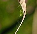 2013.07.25.3-Kirschgartshaeuser Schlaege Mannheim-Gemeine Sichelschrecke-Weibchen-Nymphe.jpg
