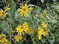 20130827Helianthus tuberosus2.jpg