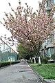 2014-04-06 樱花盛开 - panoramio (13).jpg