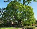 2014-04 1000jLinde Asbeck Naturdenkmal.jpg