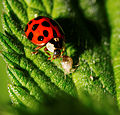 2014-05-28 17-47-32 Coccinellidae.jpg