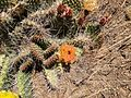 2014-06-28 12 44 14 Prickly pear cactus with yellow and orange flowers on Twin Peaks in the Adobe Range near Elko, Nevada.JPG