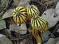 2014-07-25 Marasmius grandiviridis Wannathes, Desjardin & Lumyong 439638.jpg