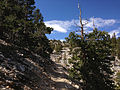 2014-09-15 11 18 15 View up the Bristlecone Trail and the Glacier Trail through sub-alpine forest in Great Basin National Park, Nevada.JPG