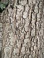 20140209Aesculus hippocastanum4.jpg
