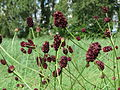 20140809Sanguisorba officinalis1.jpg